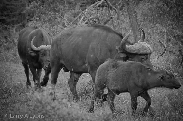 'Buffalo Family'  © Larry A Lyons