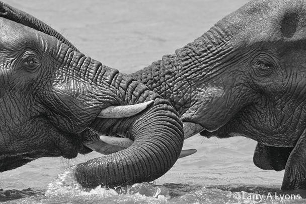 'Dueling Elephants' © Larry A Lyons