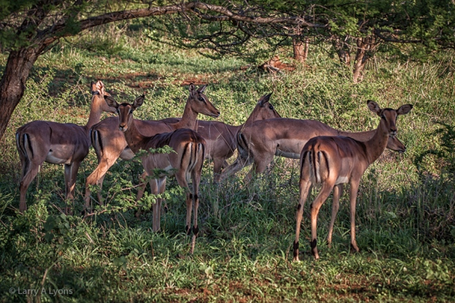 'Herd of Female Impalas' © Larry A Lyons