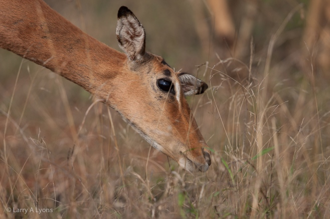 'Impala Grazing' © Larry A Lyons