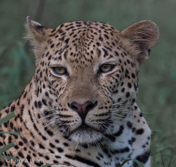'Leopard Portrait I' © Larry A Lyons