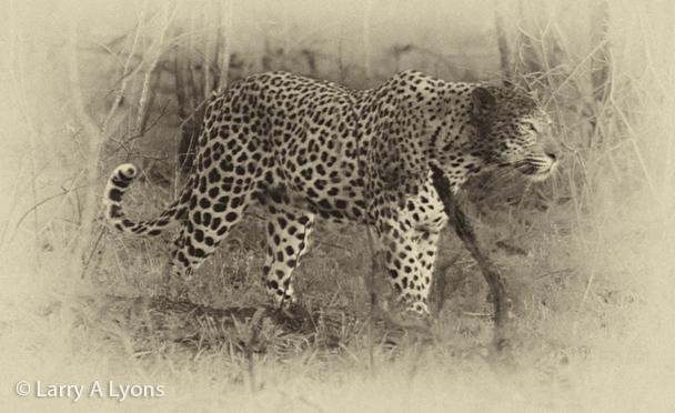 'Leopard Prowling' © Larry A Lyons