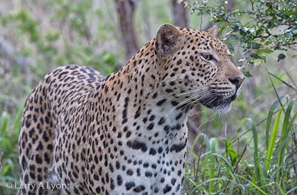 'Pensive Leopard' © Larry A Lyons