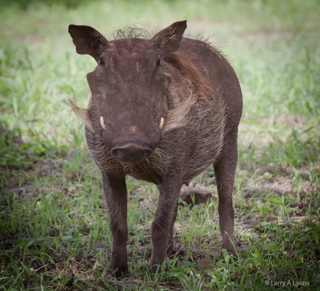'Proud To Be A Warthog' © Larry A Lyons