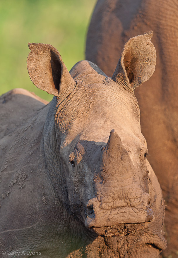 'Rhino Calf Close-up' © Larry A Lyons
