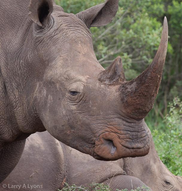 'Rhino Horn' © Larry A Lyons