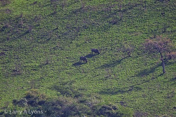 'Rhinos Grazing' © Larry A Lyons