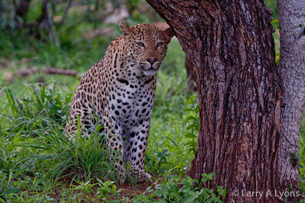 'Seated Leopard' © Larry A Lyons