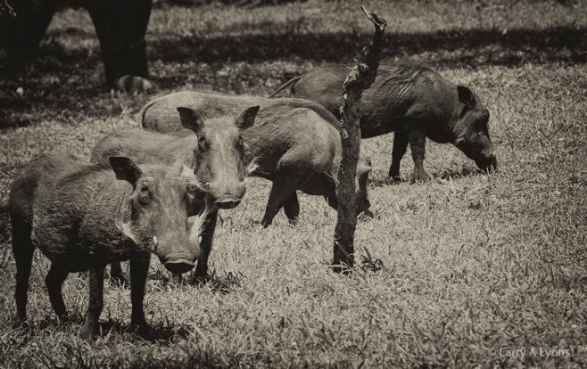 'Warthog Gathering' © Larry A Lyons