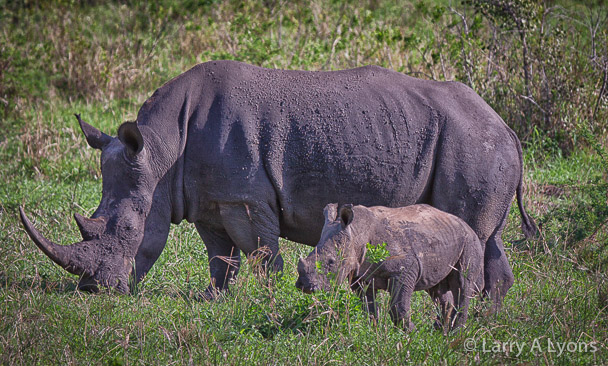 'White Rhino and Calf' © Larry A Lyons