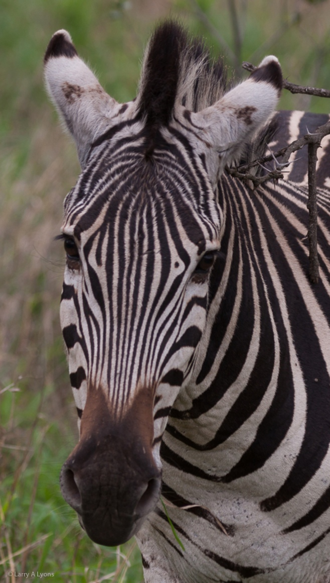 'Young Zebra' © Larry A Lyons