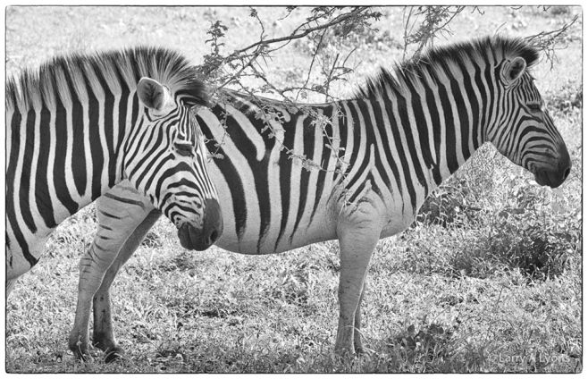 'Zebra Patterns II' © Larry A Lyons