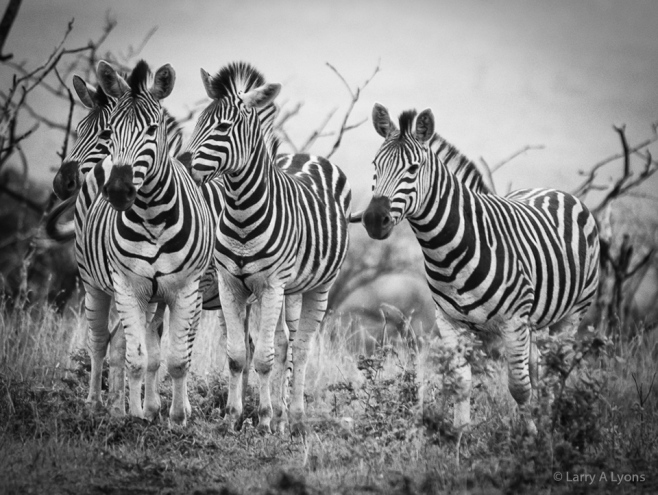 'Zebra Patterns' © Larry A Lyons
