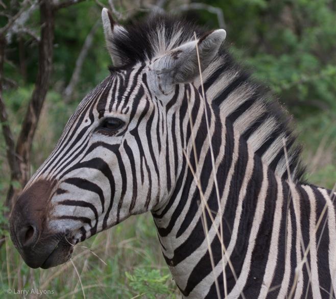 'Zebra Profile' © Larry A Lyons