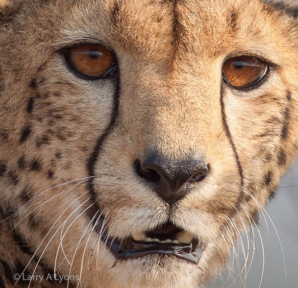 'Cheetah Close-up' © Larry A Lyons