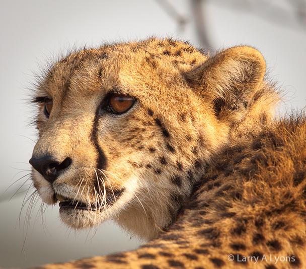 'Cheetah Profile' © Larry A Lyons