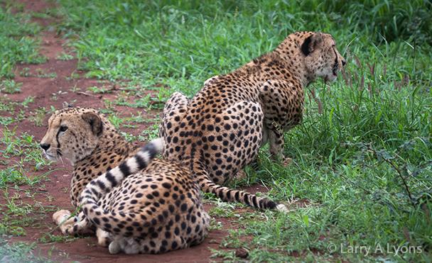 'Cheetahs Prancing' © Larry A Lyons