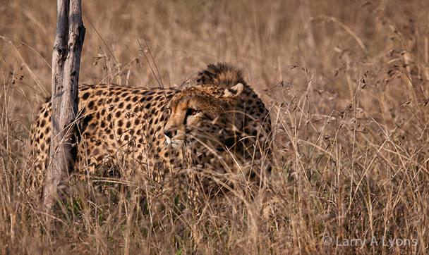 'On The Prowl' © Larry A Lyons