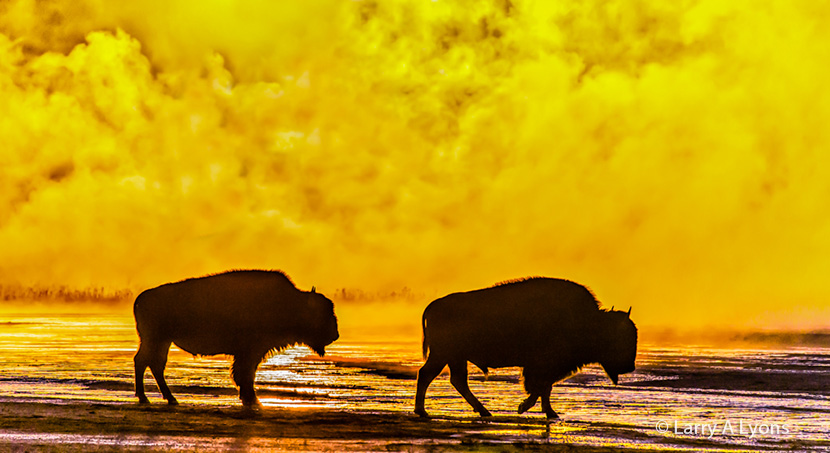 Bison Silhouettes