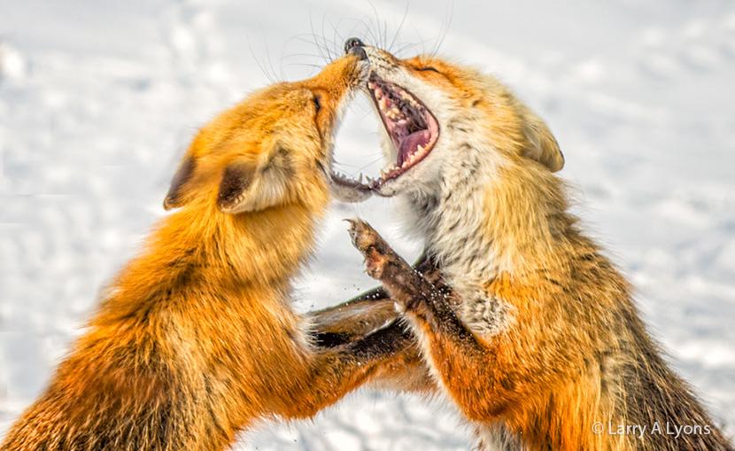 Foxy Vixens 2