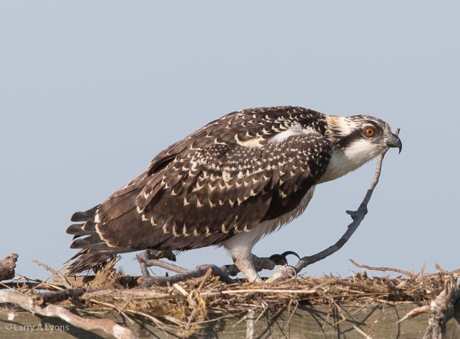 'Juvenile Osprey' © Larry A Lyons