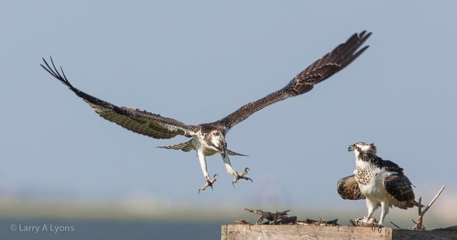 'Osprey Comeback' © Larry A Lyons