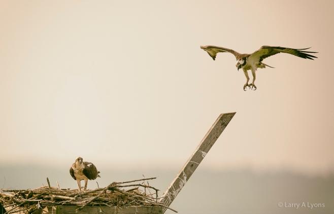 'Osprey Pair' © Larry A Lyons