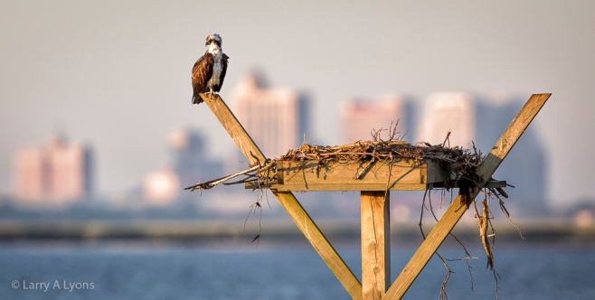 'Osprey Platform' © Larry a Lyons