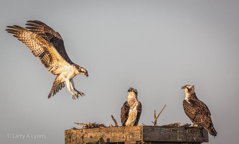 Ospreys Gathering