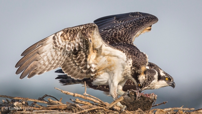 'Protect The Osprey' © Larry A Lyons