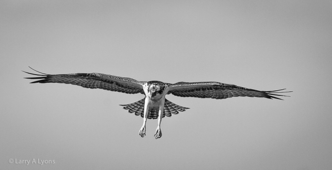 'Six Foot Wingspan' © Larry A Lyons