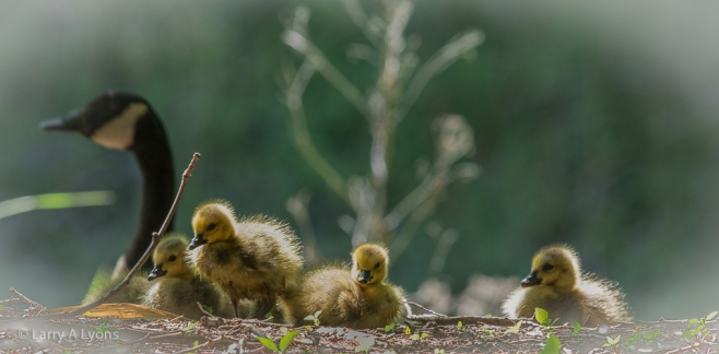 'Canada Goose Goslings' © Larry A Lyons