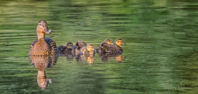 'Female Mallard and Ducklings' © Larry A Lyons