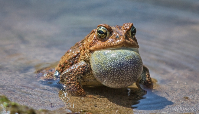 'Fowler's Toad Calling' © Larry A Lyons