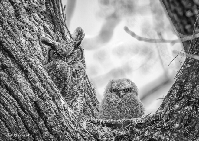 'Great Horned Owl and Fledging' © Larry A Lyons