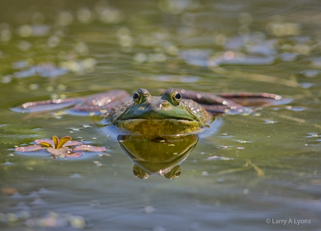 'Green Frog' © Larry A Lyons