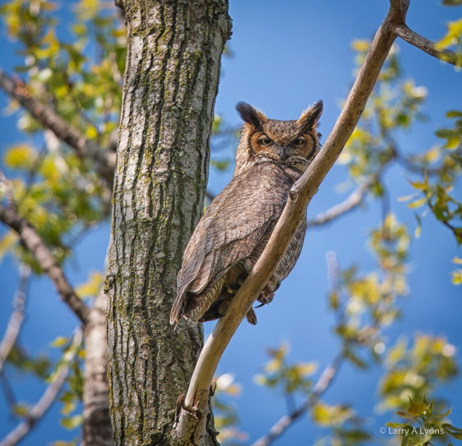 'Male Great Horned Owl' © Larry A Lyons