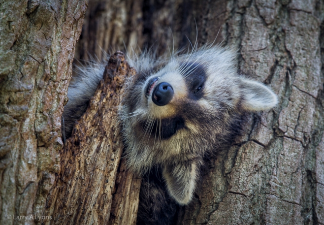 'Raccoon Sleeping' © Larry A Lyons