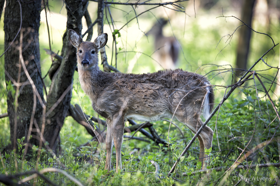 the effects of overpopulation of white tailed 2012-1-29 why sport hunting is  a study of 80 radio-collared white-tailed deer found that of the 22  even when unusual natural occurrences cause overpopulation,.
