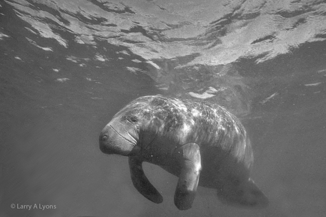 'The Graceful Manatee' © Larry A Lyons