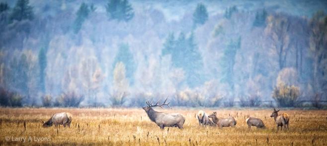 'Elk Grazing' © Larry A Lyons