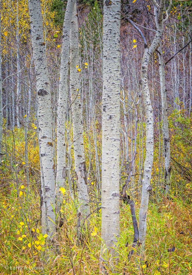 'Stand of Aspens' © Larry A Lyons