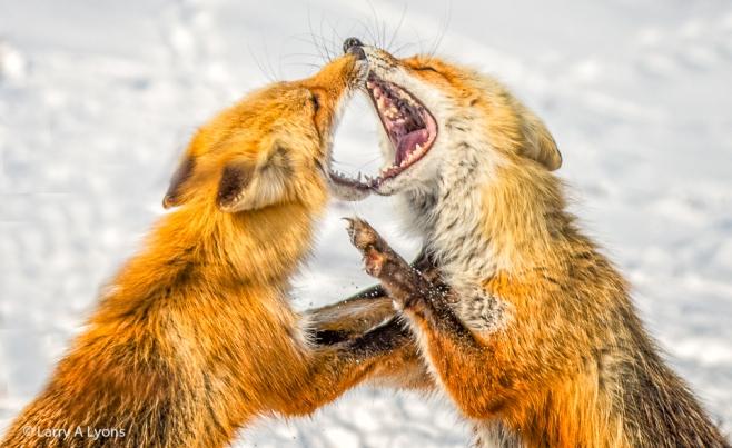 'Foxy Vixens' © Larry A Lyons