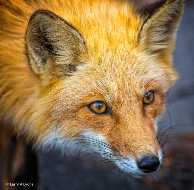 'Red Fox Close-up' © Larry A Lyons