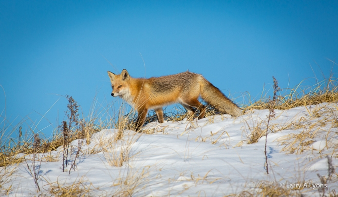 'Red Fox On Snow-Covered Dunes' © Larry A Lyons