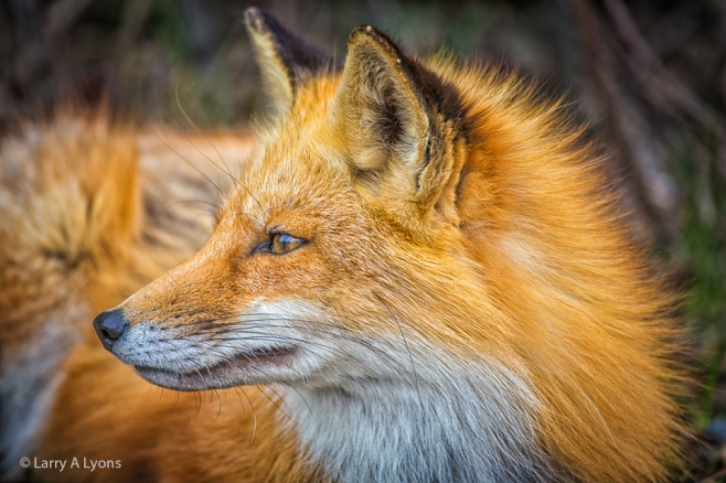 'Red Fox Profile' © Larry A Lyons