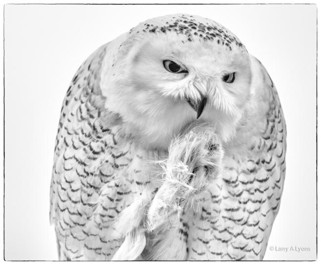 Snowy Owl copyright