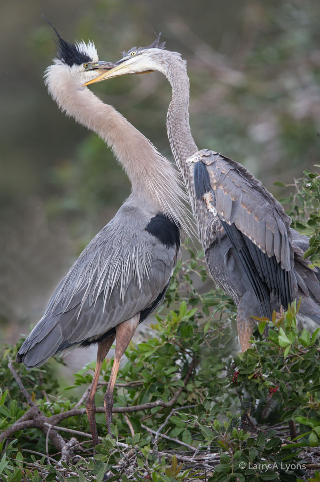 Adult and Juvenile Great Blue Herons
