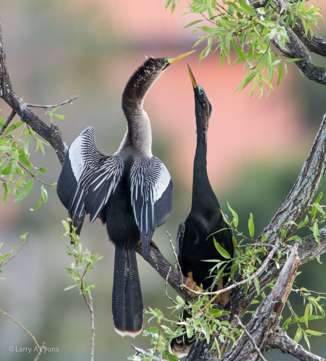 Anhingas Courting