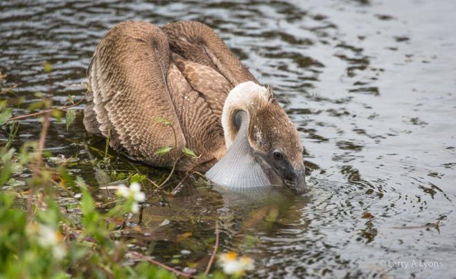 Brown Pelican Capturing Prey